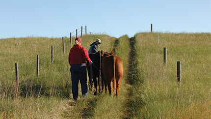 Two people walking down grass lane with livestock